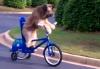Как научить собаку ездить на велосипеде?